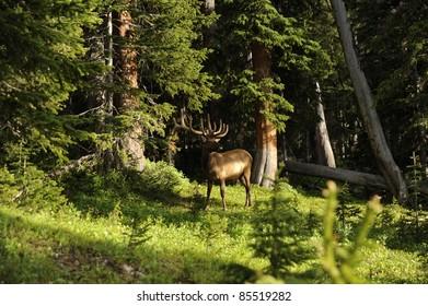 Colorado Deer. Colorado Wild Life USA