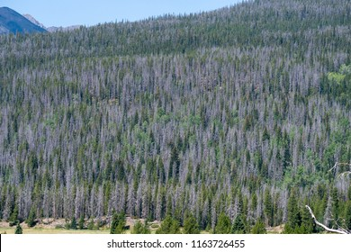 A Colorado forest showing the effects of the bark beetle infestation. This affects many of the trees in the forest.
