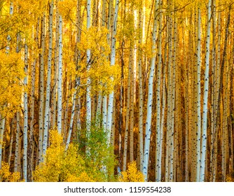 Colorado Gold- Aspen Boles in Warm Autumn Light