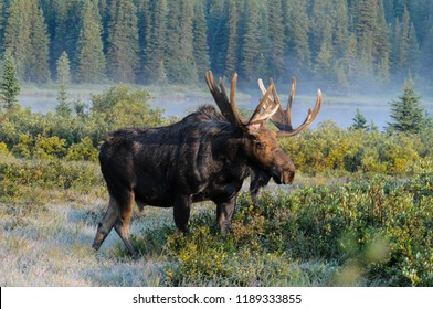 Colorado Moose Morning Mist