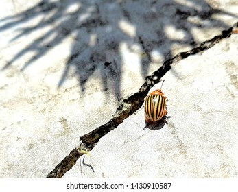 Colorado potato beetle crawling on a sunny road with a crack and plant shadow