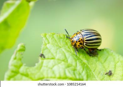 Colorado potato beetle eating leaves of potato