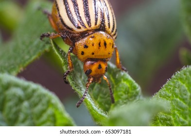Colorado potato beetle eats potato leaves, close-up.