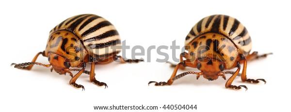 Colorado Potato Beetle Isolated on White Background