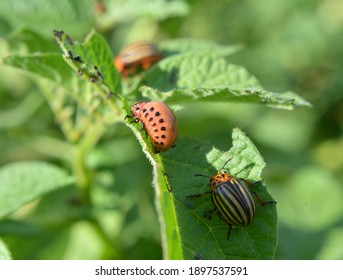 Colorado potato beetle larvae destroy potato leaves