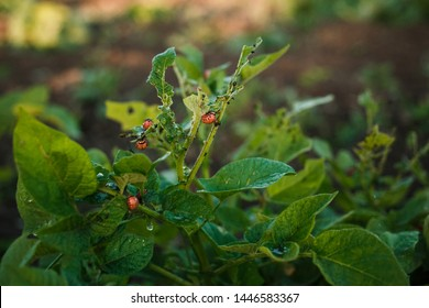 Colorado potato beetle and larvae of the Colorado potato beetle on a potato bush. the larvae of the Colorado potato parasite eat leaves.