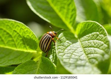 Colorado potato beetle on a green leaf of potatoes. Macro shooting.