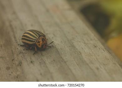 Colorado potato beetle on a wooden board