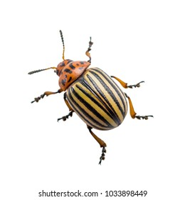 Colorado Potato Beetle Pest Insect Isolated on White