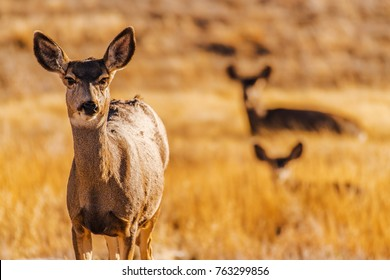 Colorado Prairie Elks. The Elk, or Wapiti Cervus Canadensis , is One of the Largest Species Within the Deer Family. Colorado Wildlife Theme.