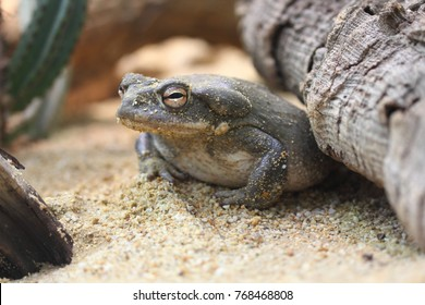 The Colorado River toad (Incilius alvarius), also known as the Sonoran Desert toad, is found in northern Mexico and the southwestern United States