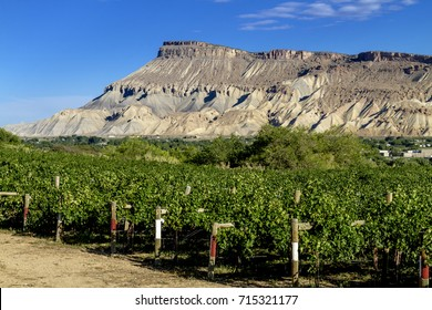 Colorado River Valley vineyard with Mount Garfield in distance on sunny summer day