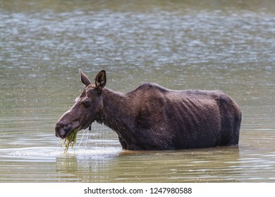 Colorado Rocky Mountains - Shiras Moose in the Wild. Moose Cow Feeding In a Mountain Lake