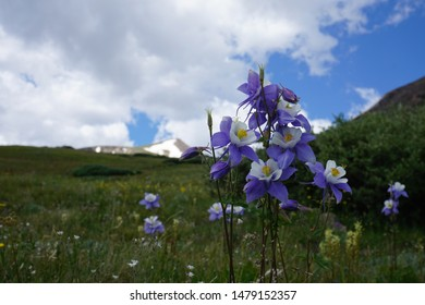 The Colorado state flower. The Columbine Flower.