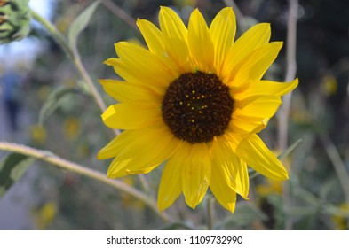 Colorado Sunflower closeup