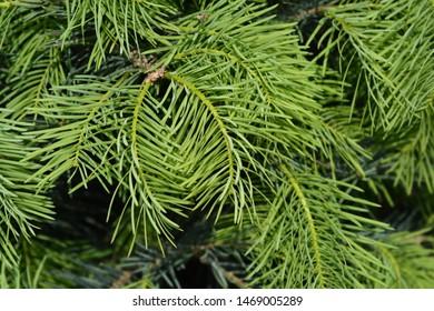 Colorado white fir branch - Latin name - Abies concolor