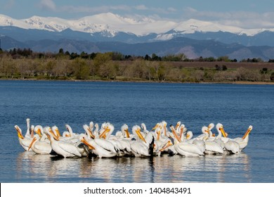 Colorado wildlife - American White Pelicans at Colorado's Cherry Creek State Park, suburban Denver, Rocky Mountains in background.