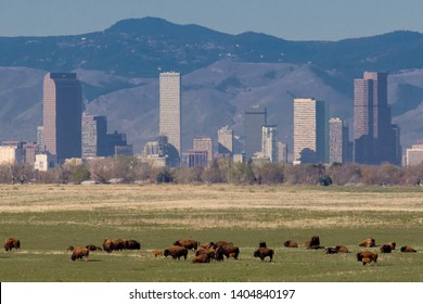 Colorado wildlife - bison herd at the Rocky Mountain Arsenal National Wildlife Refuge, with Denver skyline in background