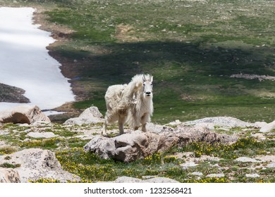 Colorado Wildlife - Wild Mountain Goats on Colorado Mountain Peaks.