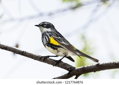 Colorado Wildlife - Yellow-rumped Warbler. Also known as the Myrtle Warbler.