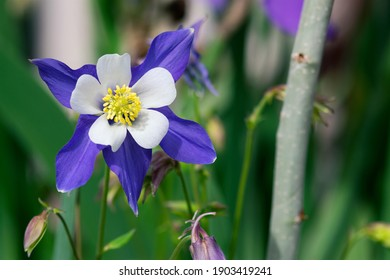 Colorado's state flower, the Rocky Mountain Columbine, blooms in springtime.