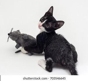 Color-Changing Fever Coat  Kittens