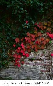 colored autumn ivy