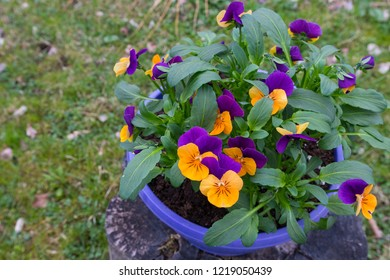 Colored, beautiful heartsease (viola wittrockiana) flowers in the flowerpot. Floriculture.