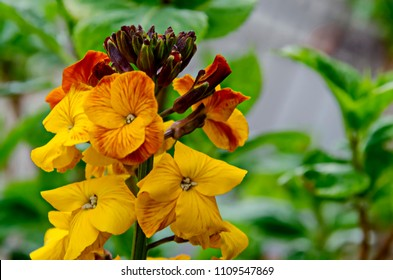 Colored blooming flower of Erysinum cheiri, Cheiranthus or Wallflower, Sofia, Bulgaria
