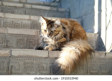 colored cat Maine Coon on the gray steps