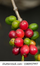 colored coffee berries on the coffee tree in brazil
