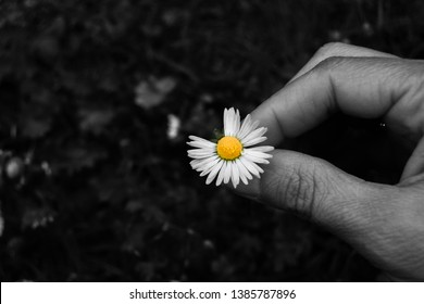 A colored daisy without a quarter of corolla of petals and collected from the ground