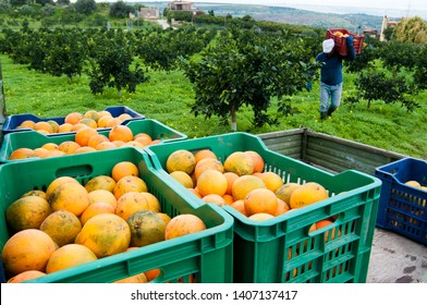 Colored fruit boxes full of navel oranges in an citrus grove during harvest season in Sicily