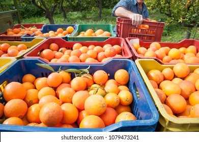 Colored fruit boxes full of tarocco oranges in an orange grove during harvest season in Sicily