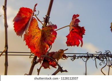 Colored grape leafes in the wineyard in fall and autumn in Rhineland-Palatinate, Germany, next to the German Wine Street, a famous vineyard and wine region