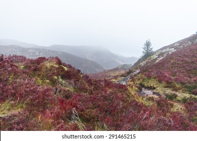 Colored heather in a wild moorland in the Scottish highlands, in a foggy winter day.