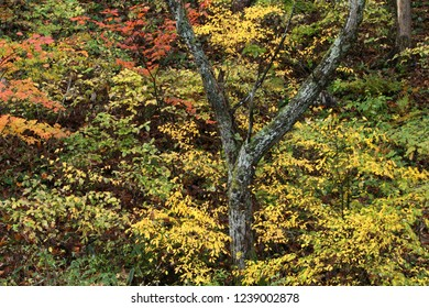 Colored leaves of coppice
