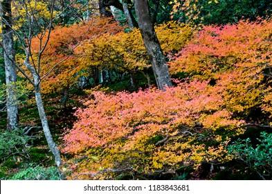 Colored leaves of Ginkaku-ji Temple. Jisho-ji Temple is known for a name of Ginkaku-ji Temple. Jisho-ji Temple is in Kyoto, Japan.