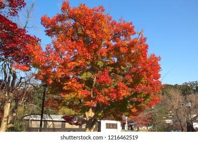 Colored leaves of Izu Peninsula, Shizuoka, Japan