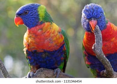 Colored lorikeet birds