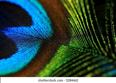 colored peacock feather