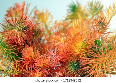 Colored plants that look like pine leaves. Green red and orange pine leaf is in focus. Background is colored and white.