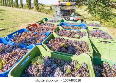Colored plastic baskets filled with black grapes loaded on a trailer and ready to be transported to the winery during the harvest