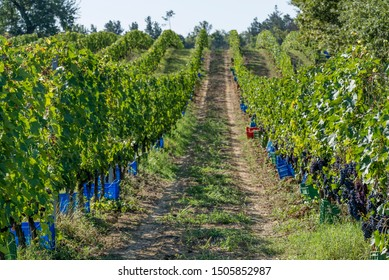 Colored plastic boxes along the vine rows waiting to be filled with bunches of black grapes during the harvest in the Chianti area, Italy