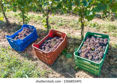 Colored plastic boxes filled with bunches of black grapes, ready to be taken to the winery during the harvest