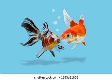 A colored scene with two gold fishes and bubbles, Fish whispering gossip or secret to a friend, telling news, sharing with rumors concept, Goldfish isolated on blue background
