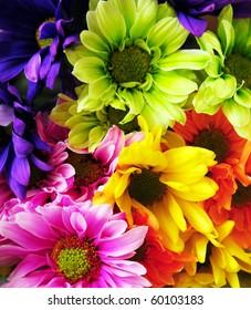 Colored Shasta Daisy