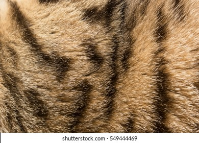 Colored and striped fur of the cat