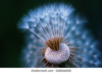 Colored unusual macro of dandellion blowball that partly lost its umbrellas. Airy appearance. Shallow depth. Muted colors.
