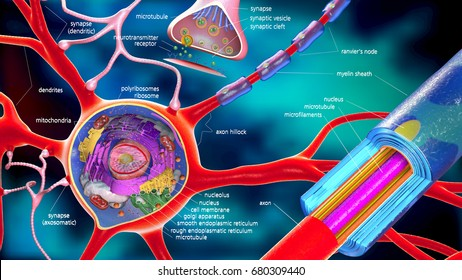 colorful 3d illustration of a neuron and cell-building with descriptions